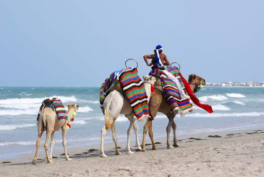 Camels on Tunisian beach